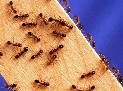 избавиться от муравьев